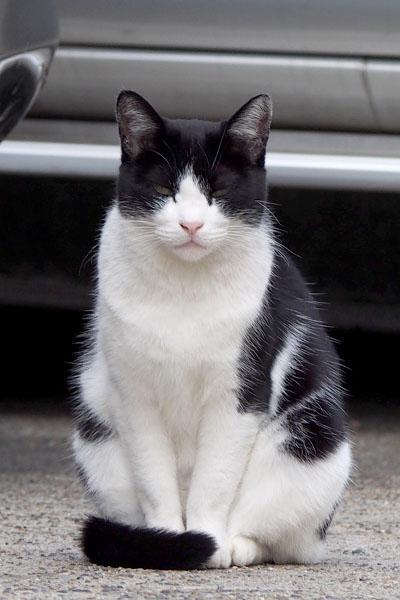 白黒ハチワレ メス猫