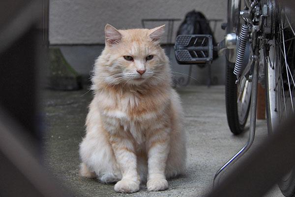 もっさりした猫 ラガマフィン
