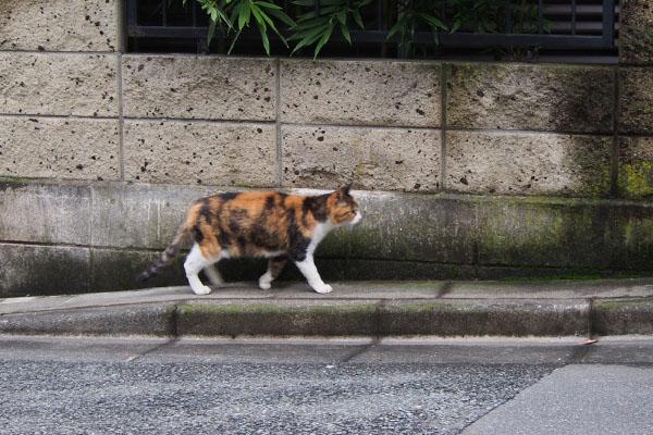 三毛猫 歩く