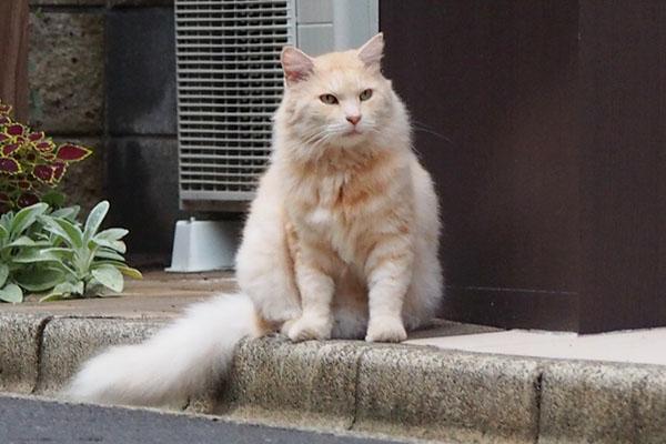 クリーム色の猫 しっぽ