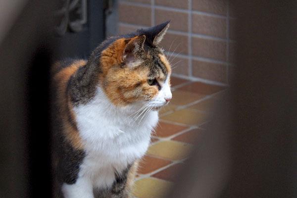 三毛猫 斜め上から横顔