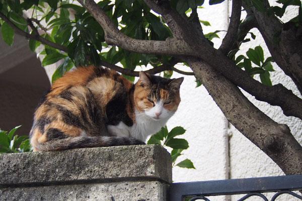 三毛猫 塀の上 睨む