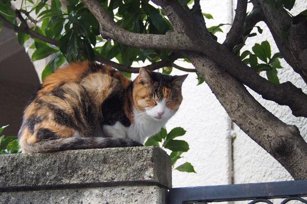 三毛猫 塀の上 目閉じ