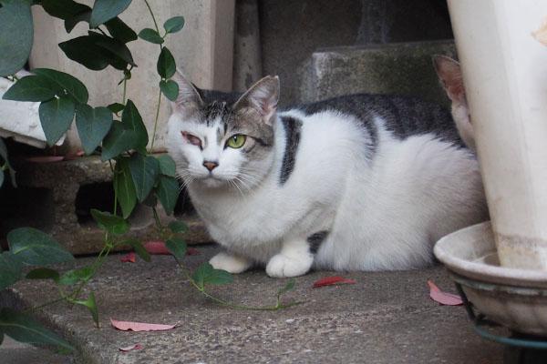 サバ白猫 お腹地面につく