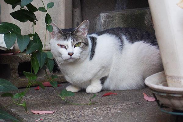 睨む猫 角膜炎