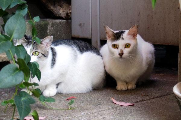 くっ付く猫 サバ白キジ白