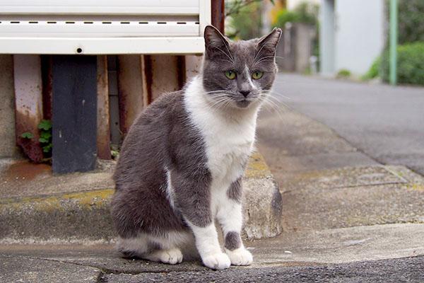グレ白猫 ぼーっとお座り