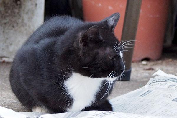 新聞紙の上にお座りする白黒猫 タキシードキャット