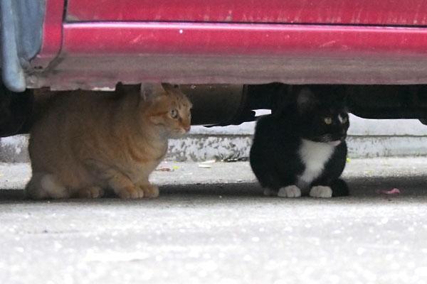 車の下でちんまりする猫