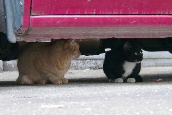 車の下に猫2匹