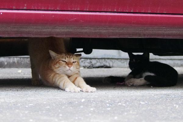 ソラ 車の下で伸びをする猫
