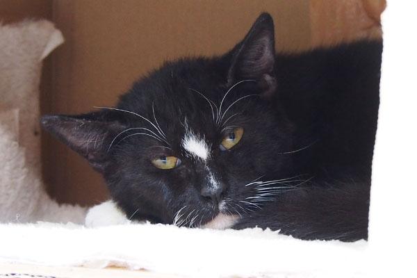 寝る事にした 眠い顔の白黒猫 瞬膜出ている