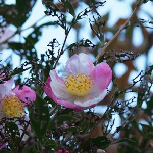 camellia 椿 薄いピンク