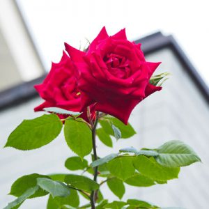 red rose on the air