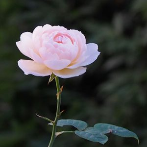 one lil pink rose
