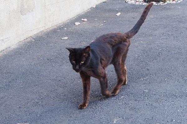 黒猫 歩く姿 痩せた