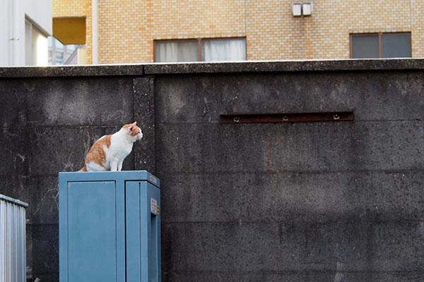 塀の上を見つめる 茶白ガール