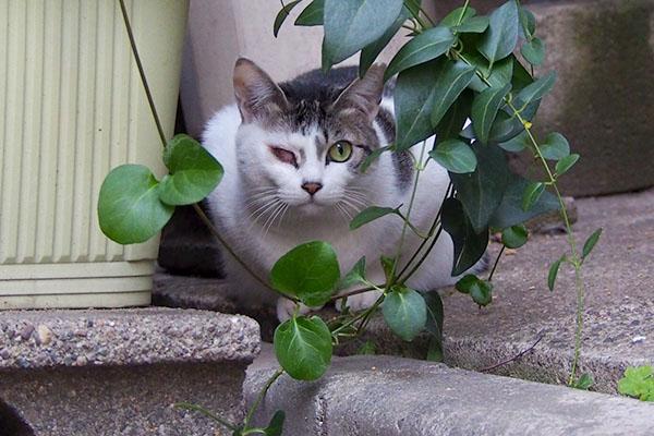 キジ白猫 覗く