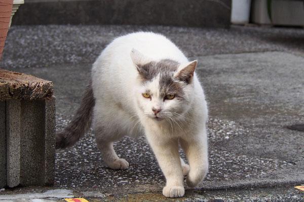 ひゃほー グレ白猫