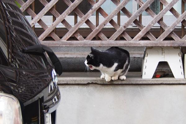 こにゃいでー 叫ぶ白黒猫