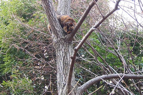 ラコ 枝から幹の方へ移動