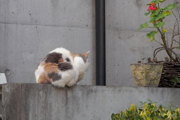 塀の上向こうを見るみけ姉さま