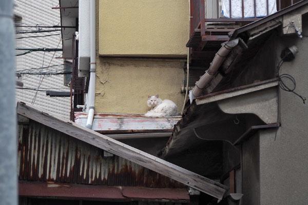 屋根に白猫さん 家猫