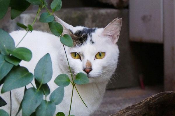 beautiful cat Aurora