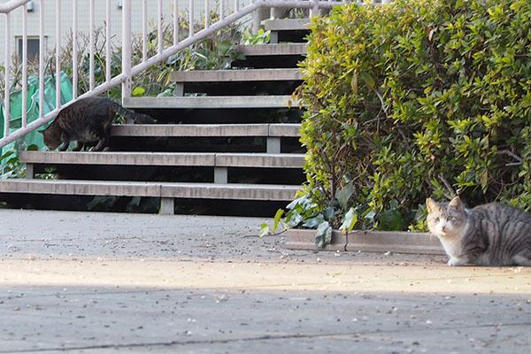 階段を下りているシマシマにゃんこ