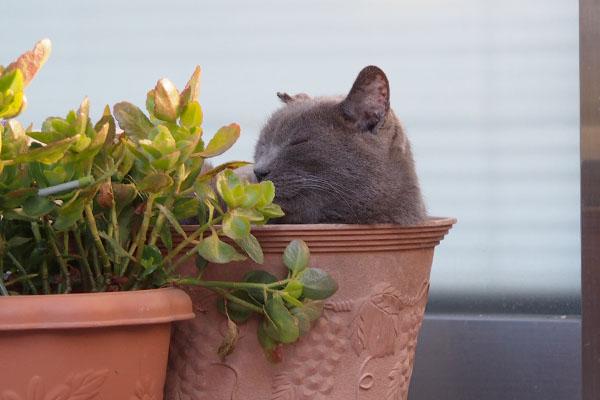 植木鉢の中で横を向くロシグレ