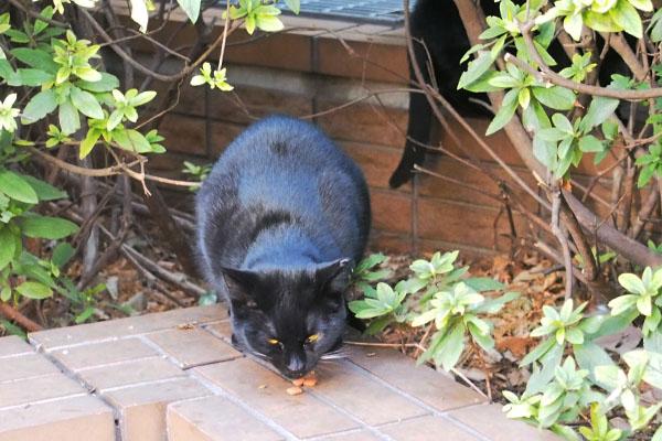 黒仔猫 警戒しながら食す