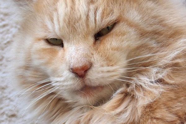 Narikoma face look like a lion