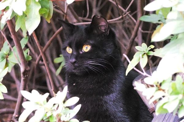 ゴールデンアイの黒仔猫