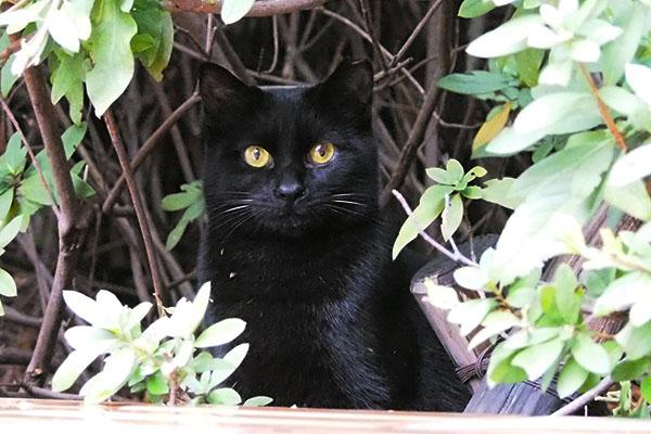 black kitty female 黒仔猫メス