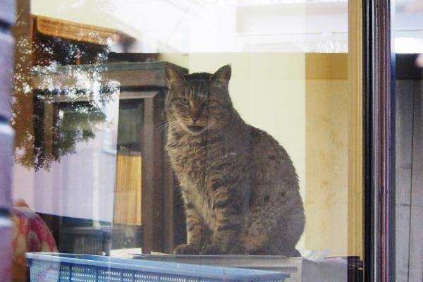 kijitora at window