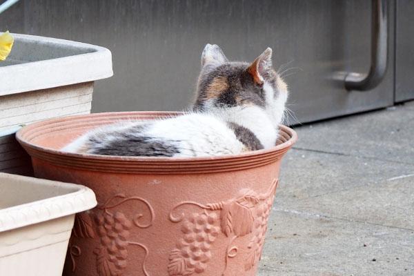 植木鉢に入ってたみけ姉さま