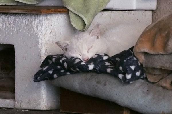chirol sleeping face 白猫の寝顔