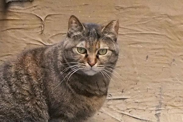 Aki face サビ猫ちゃん