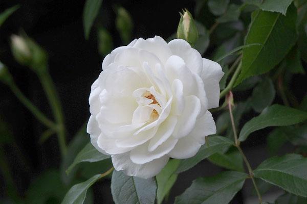 白いバラ white rose