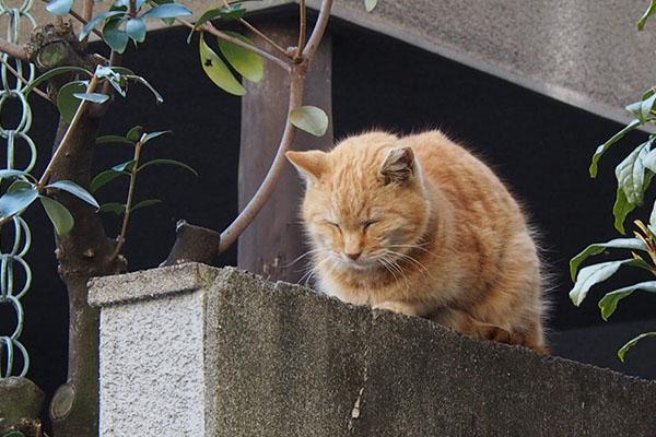塀の上で寝る ジル