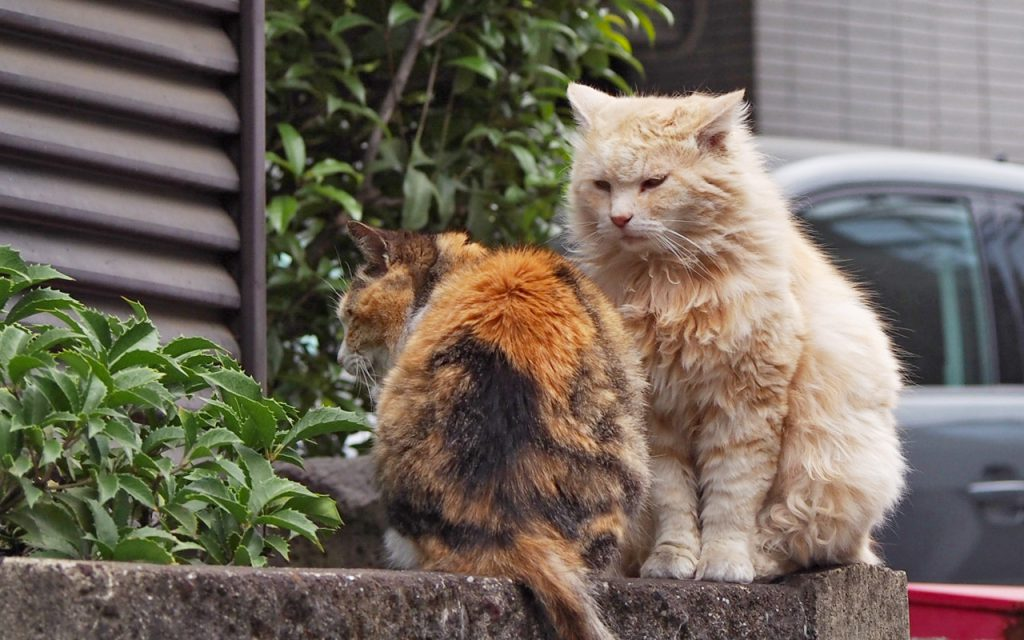 大好きな三毛猫さんを前にドキドキな長毛男子