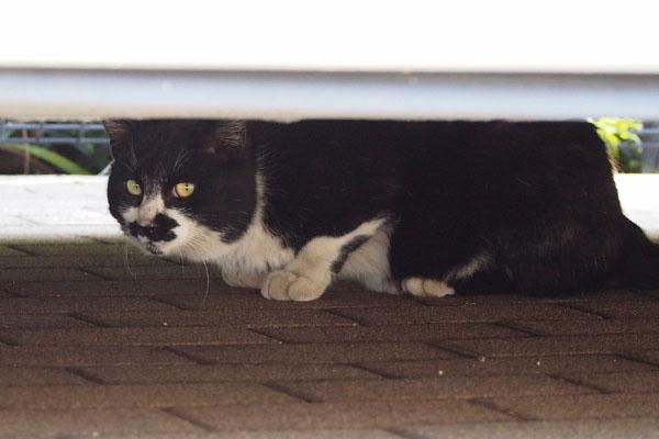 困惑する白黒猫さん