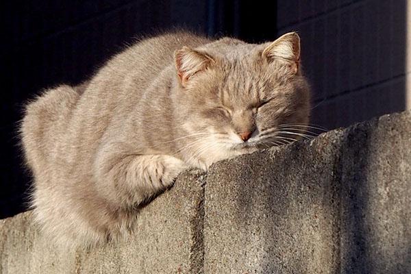グリ 塀の上で寝ていた
