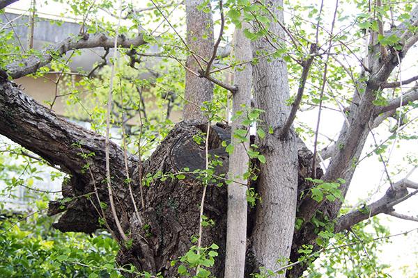 雫が居たイチョウの木