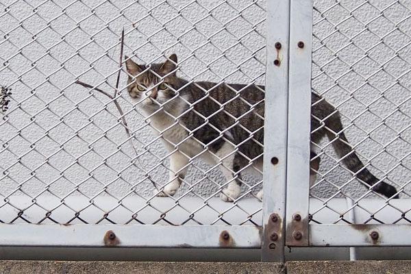sakura thrugh fence
