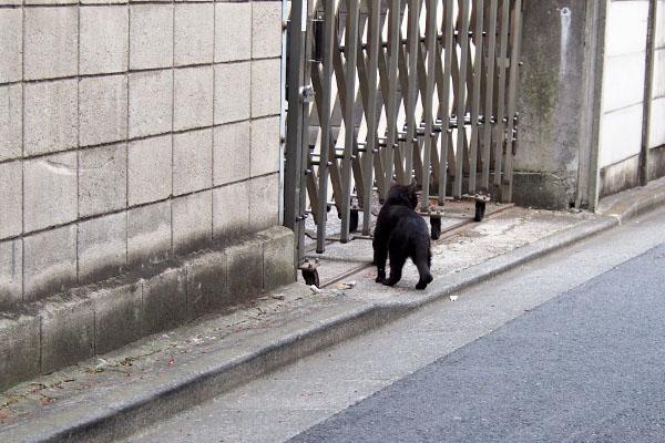 黒猫の後ろ姿 フェンス前