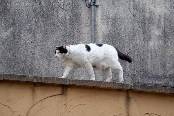 塀の上トテトテ 坊