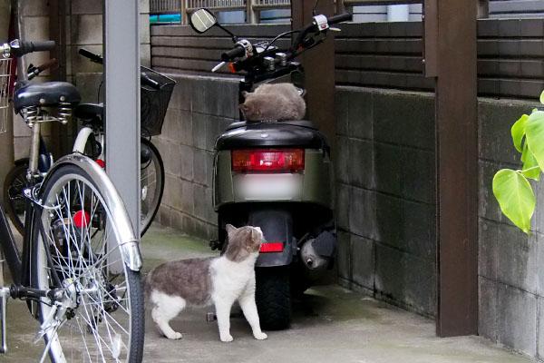 サバ白君バイクの上を見る
