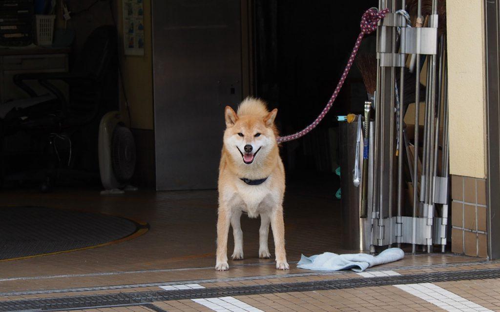shiba lady smile
