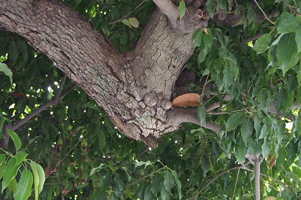 目のある木の枝1